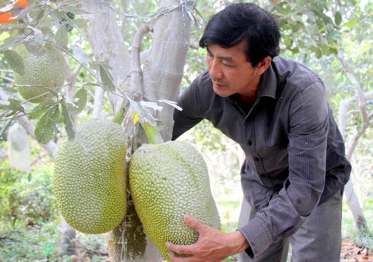 Vườn mít Thái của ông Nguyễn Thật. Ảnh: Nguyễn Khoa.