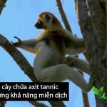 Tại sao vượn sifaka có thể ăn cây chứa độc ?